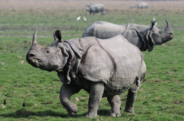 rhinoceros3