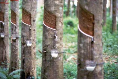 Siragu rubber article2