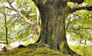 Siragu tree1