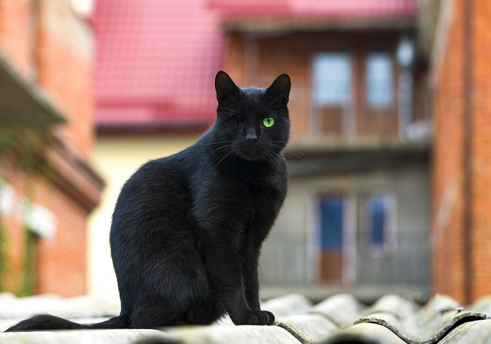 siragu black cat